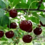 Как вывести пятно от вишни: 5 способов